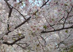 桜の下にはすし詰め状態の人が